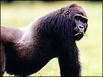 Lowland silverback gorilla   Annelisa Kilbourn/WCS