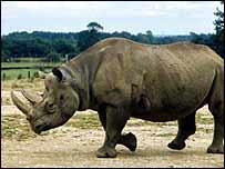 Black rhino   BBC