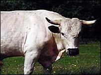 White park bull