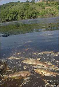 Dead fish near the shore of the Pomba river