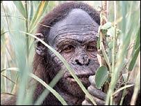 A televisual representation of Australopithecus afarensis, BBC