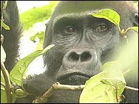 Gorilla, Richard Parnell