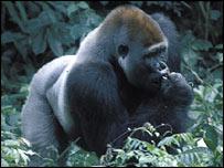 Gorilla, Peter Walsh