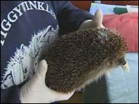 Hedgehogs is saved by a volunteer