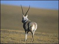 Antelope, Ifaw
