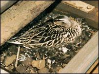 Duck nesting under live Tube rail