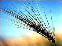 Ear of grain   Monsanto