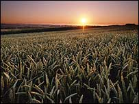 Sunrise over grainfield   Monsanto