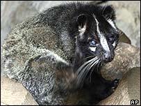Civet in Tokyo's Ueno Zoo