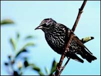 Starling, BBC