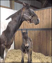 Cloned mule (University of Idaho)
