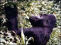 Gorilla   BBC