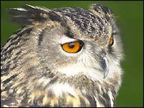 A European owl
