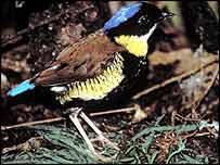Gurney's Pitta   P D Round/BirdLife