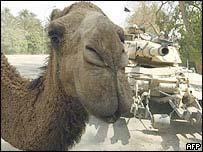 Iraqi camel