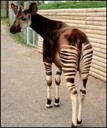 Kibali the okapi