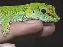 Gecko, BBC