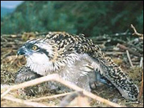 Osprey chick - Norman Healy/Forestry Commission