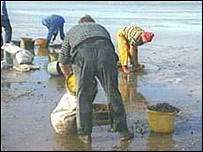 Collecting cockles on mudflats