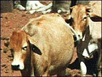 Namibian cattle, BBC
