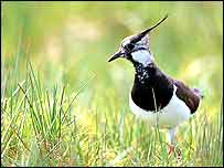 Lapwing in field   Andy Hay/Rspb-images.com