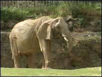 An elephant at Paignton Zoo
