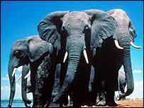 Elephant family   BBC