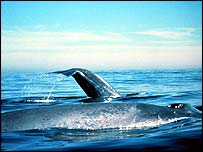 Blue whales on surface   Noaa