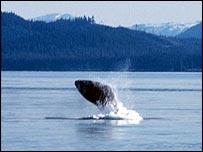 Humpback splashing   Noaa