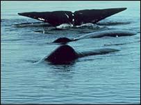 Sperm whales' flukes   Noaa