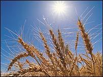 Wheat, Eyewire