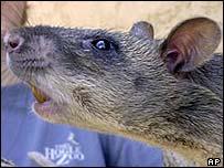 A Gambian rat