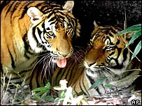 Tigers in South China