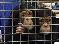 Two chimps in cage   BBC