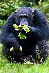 Chimp eating   PA