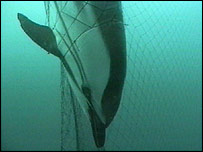 Dead dolphin in net   BBC
