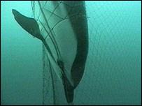 Dead dolphin in net   BBC