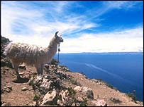 Llama on the shores of Lake Titicaca