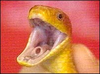 A yellow rat snake