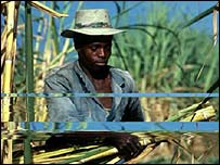 A sugar cane worker in Colombia