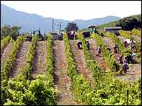 Vineyard   BBC