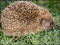 A hedgehog, BBC