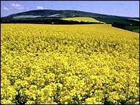 Rape seed crop