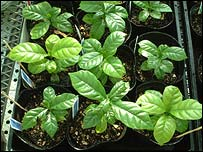 Coffee plants, Nature