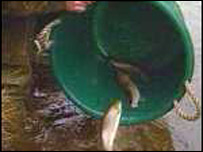 Trout being put into the Teifi
