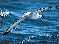 Wandering albatross   Tony Palliser/BirdLife International