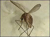 Опасный вид комаров.