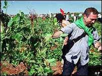 Bove in a Brazilian GM crop field 2002