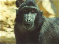 Sulawesi crested macaque, picture courtesy of Paignton Zoo