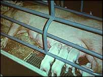 Pig and piglumps  CIWF